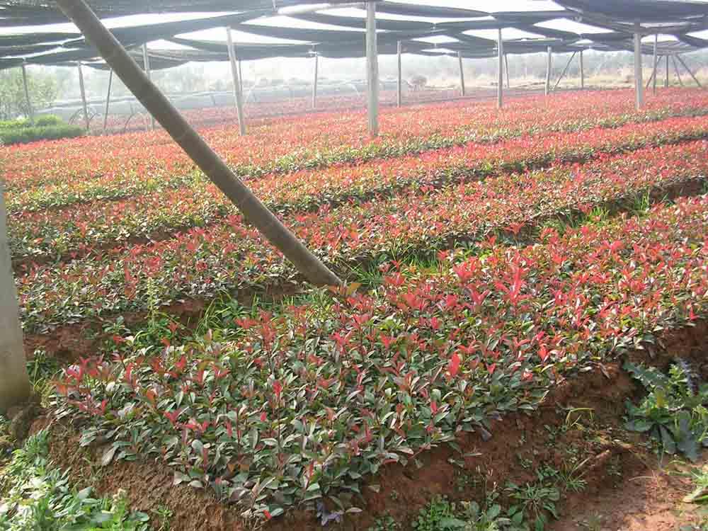 红叶石楠的生长离不开肥料的灌溉