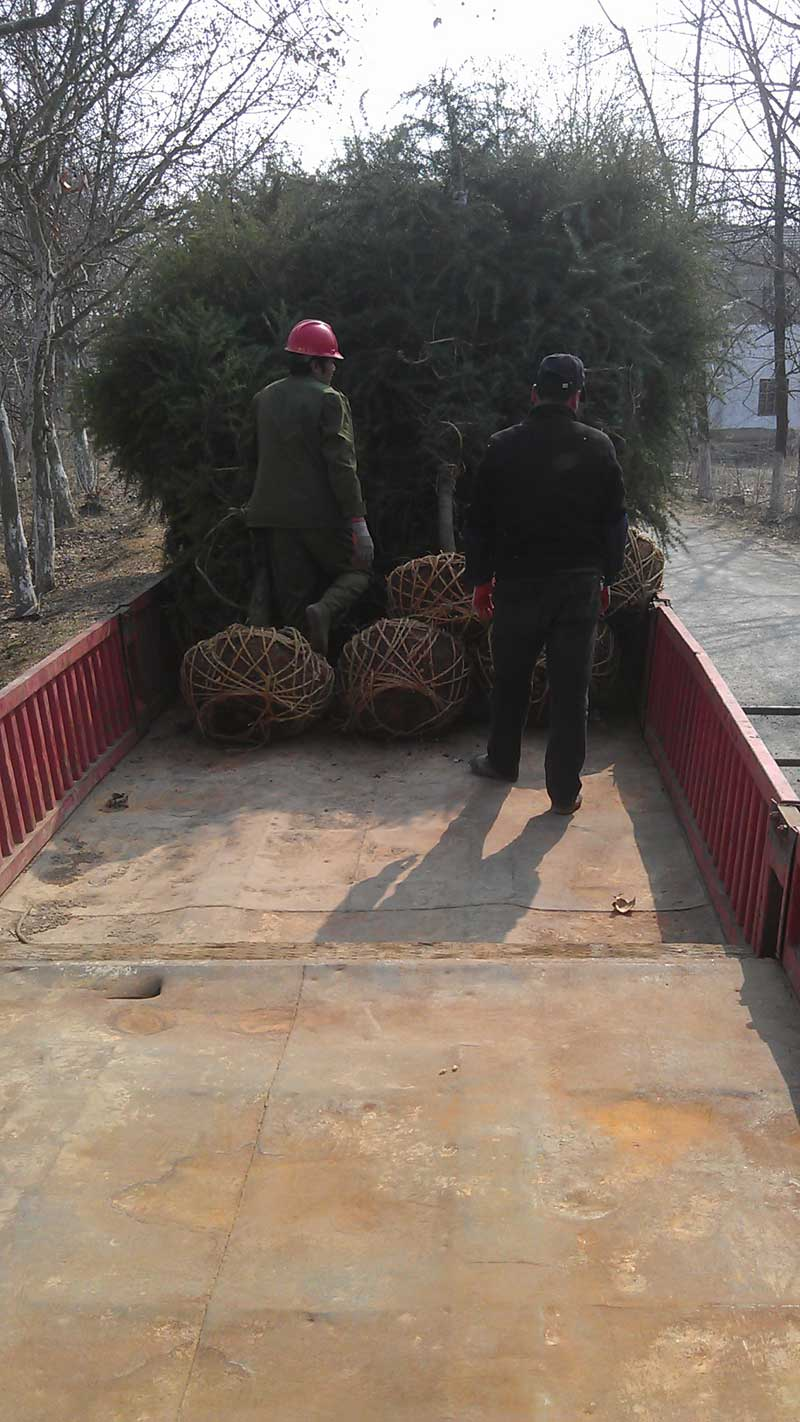 2014年3月份4米雪松发往安徽芜湖