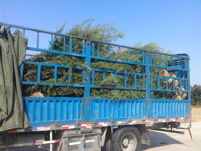 2014年秋发山西晋城的4米精品雪松