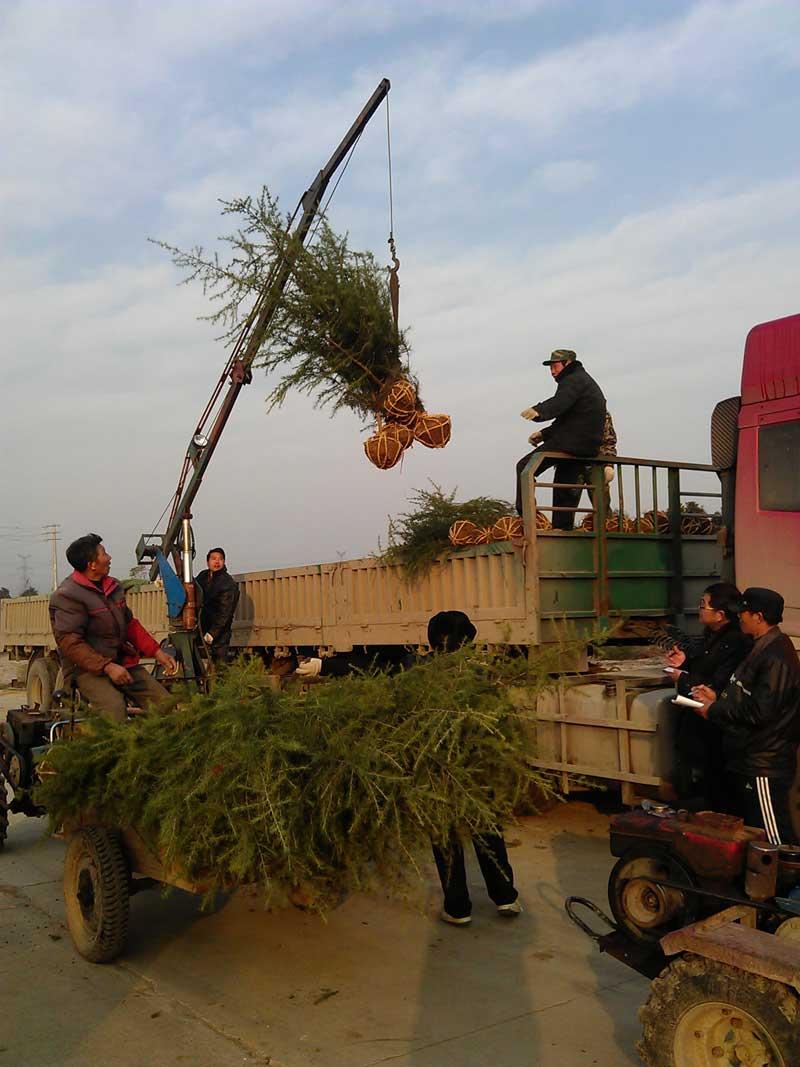 2014年12月份发往山东的1.8米雪松