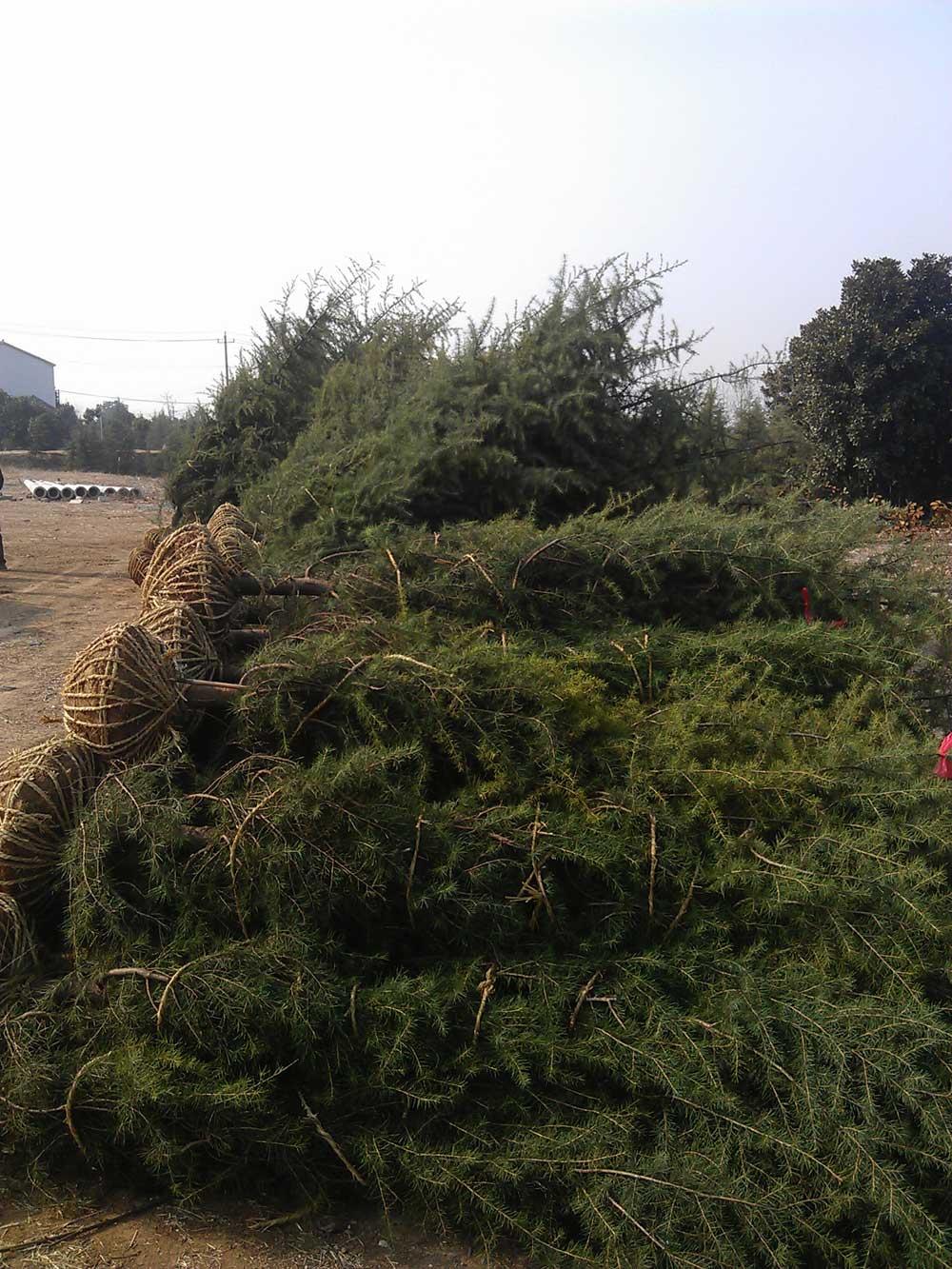 2015年1月23日4米和3米雪松发往浙江金华