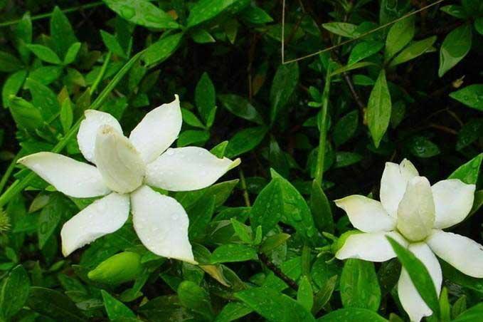 简述小叶栀子花播种繁殖方法