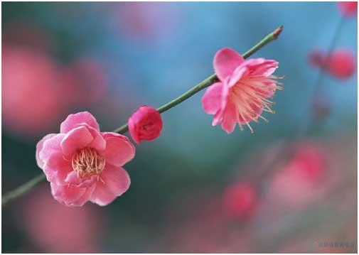 如何识别梅花,桃花,樱花,梨花,李花和杏花!