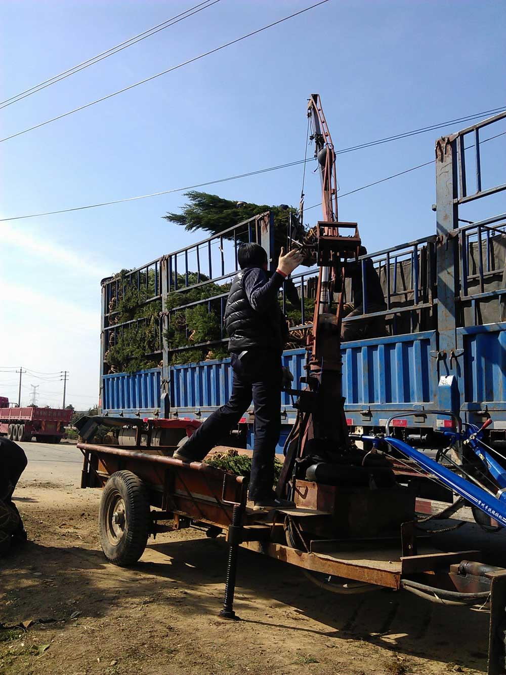 2015年3月份大运园艺2米蜀桧出圃 装货现场