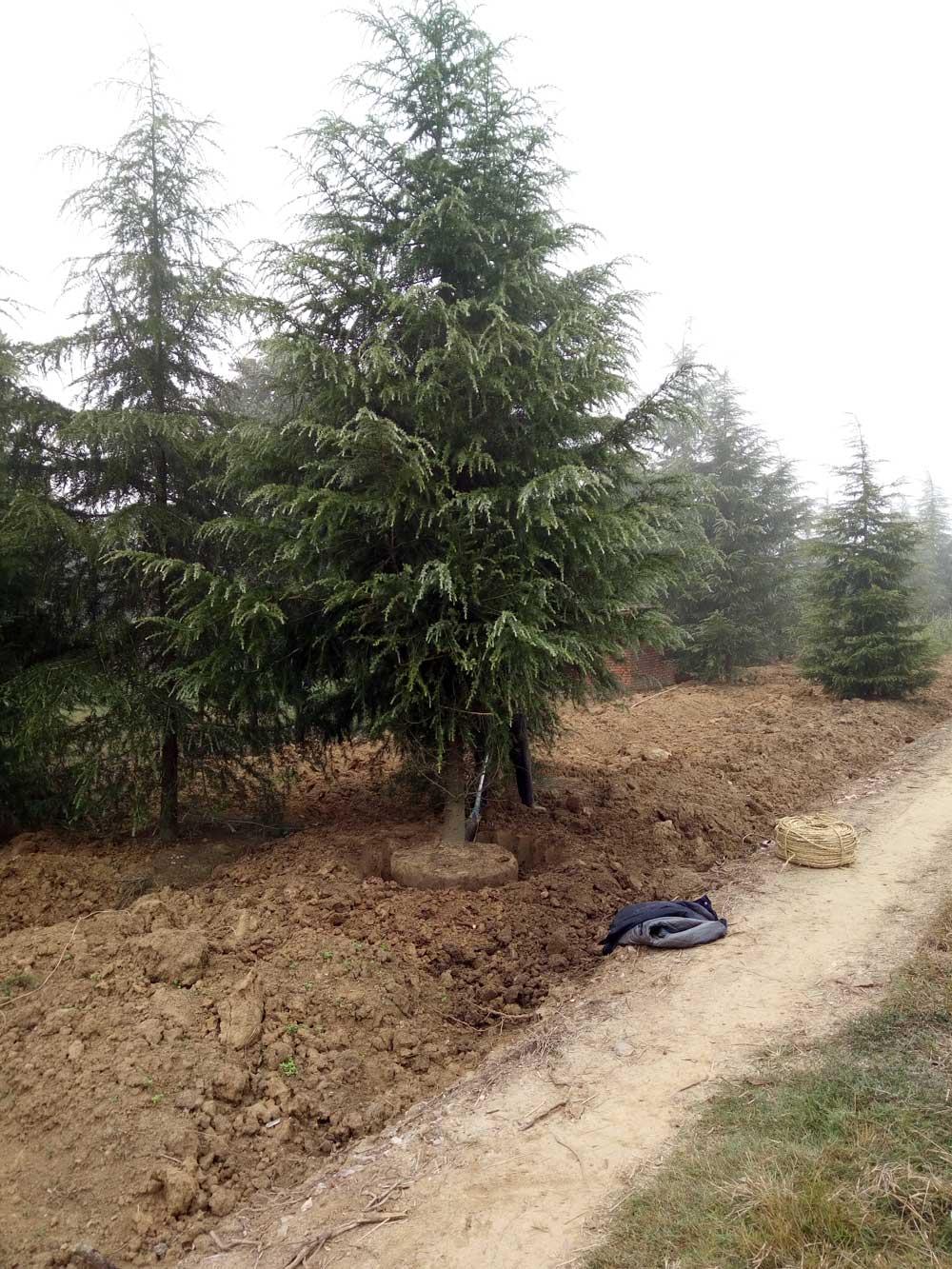 近期发山东5米、6米、7米雪松一级苗